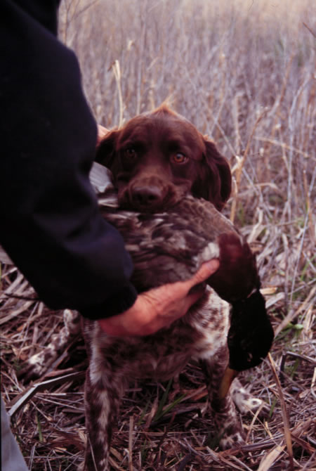 What Is The Small Munsterlander Hunting Dog